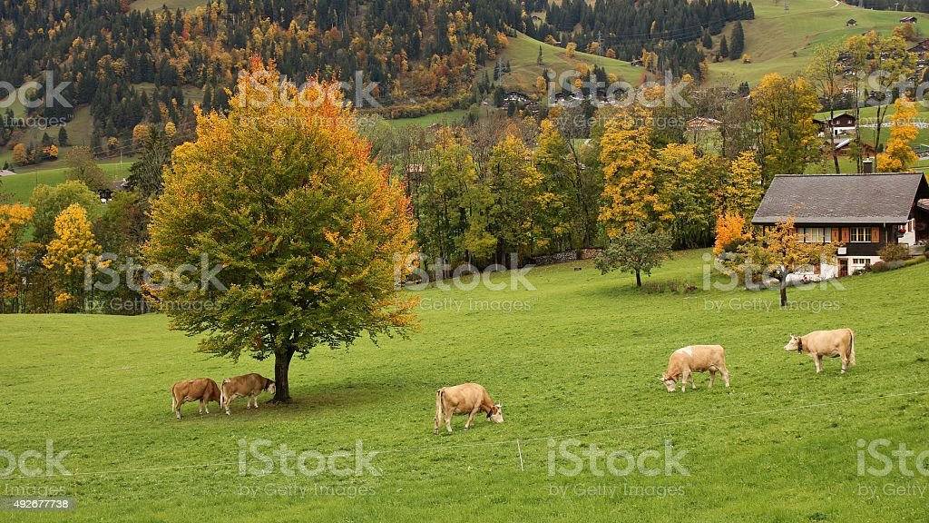 Grazing Simmental cattle and colorful autumn landscape stock photo