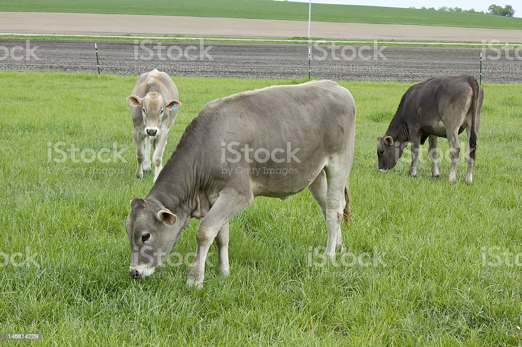 Grazing Swiss stock photo