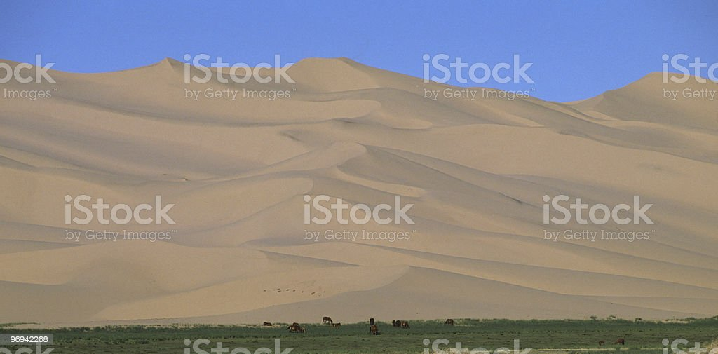 grazing under the dunes royalty-free stock photo