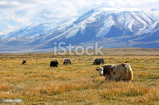 Natural landscape of grazing yak behind the beautiful snow mountain with cloudy and large steppe at Western Mongolia