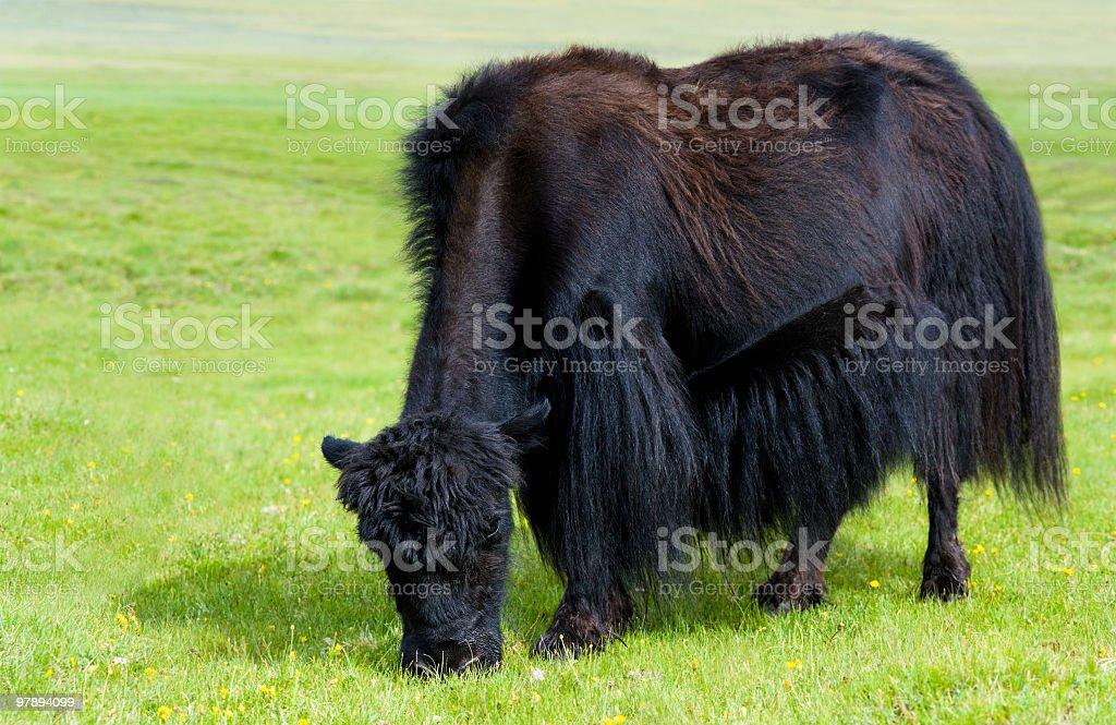grazing yak royalty-free stock photo