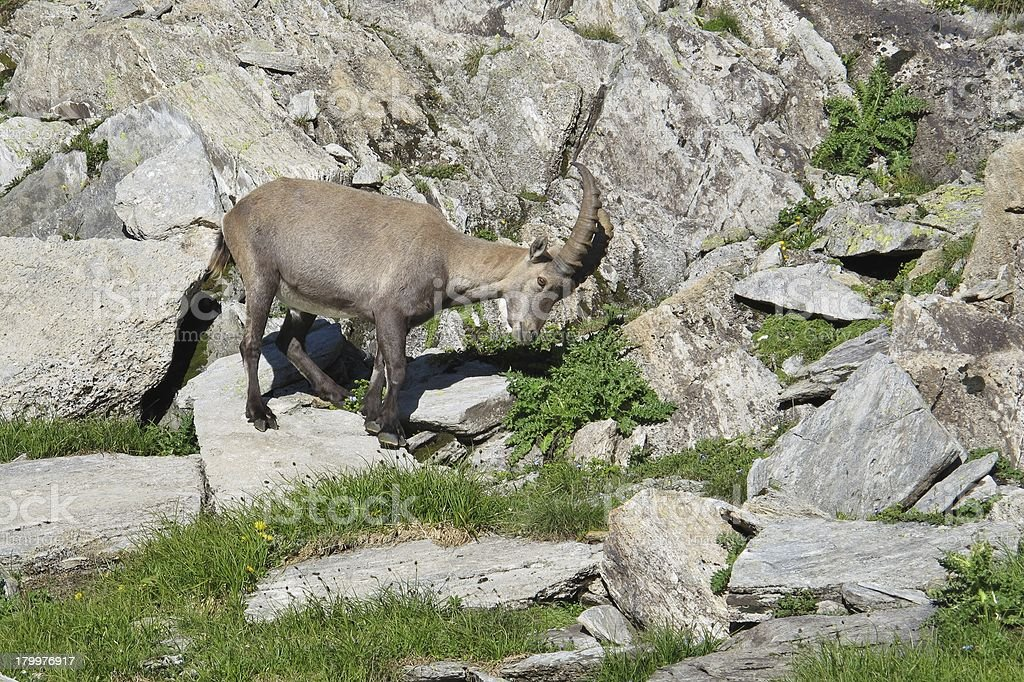 Grazing young alpine ibex royalty-free stock photo