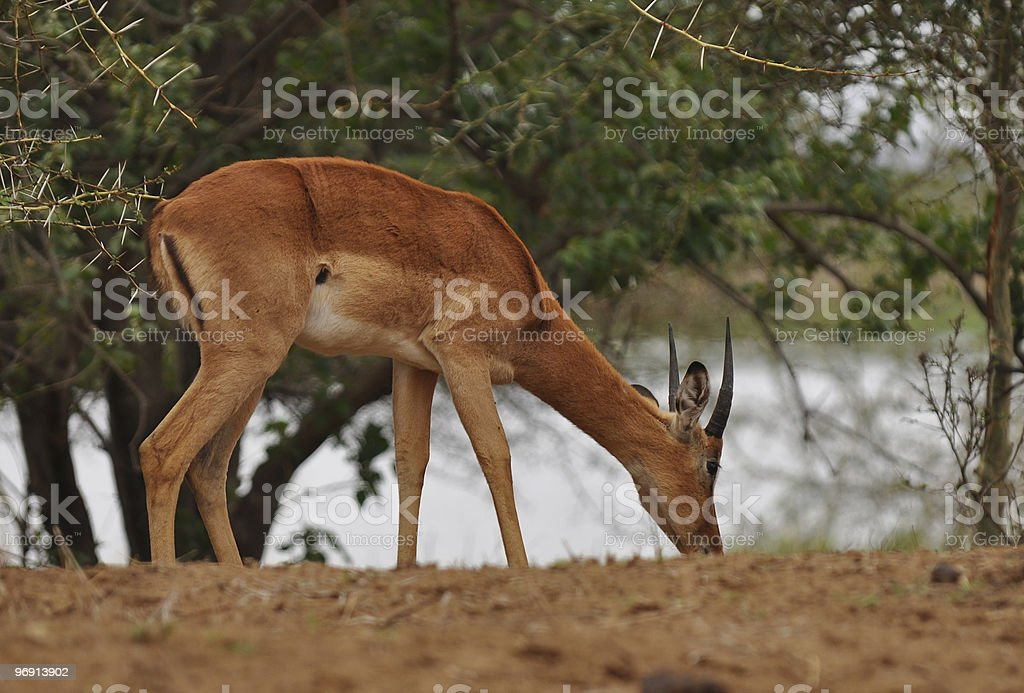 grazing young impala male royalty-free stock photo