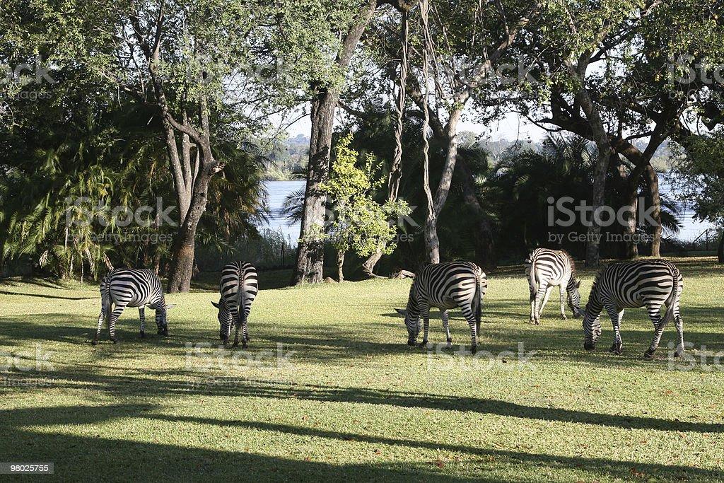Grazing Zebra royalty-free stock photo