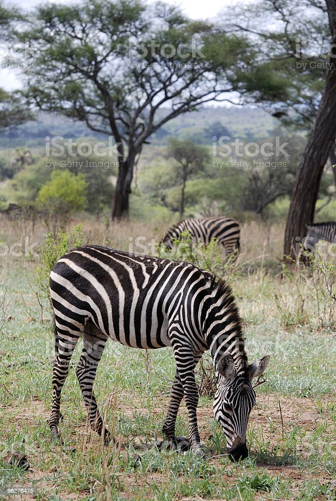 grazing zebras royalty-free stock photo