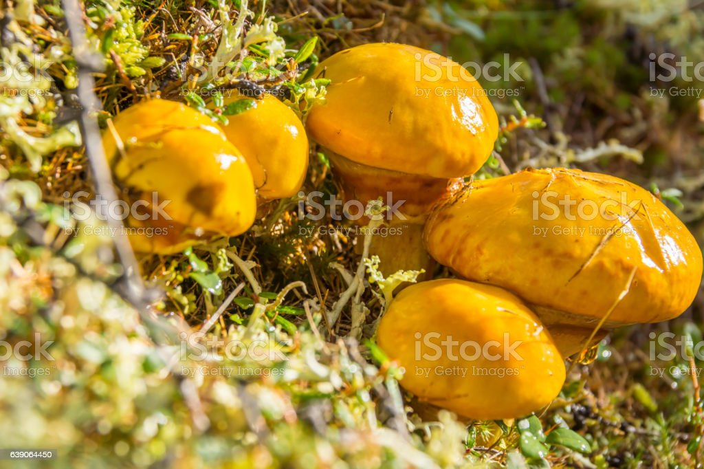 Greasers mushroom stock photo