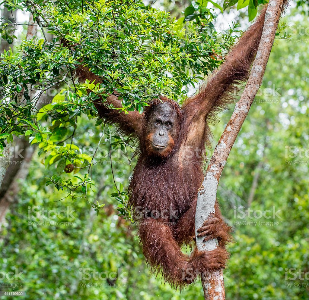Great Ape on the tree. stock photo