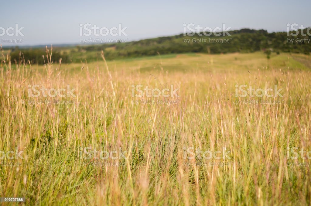 Great background of tall grass. stock photo