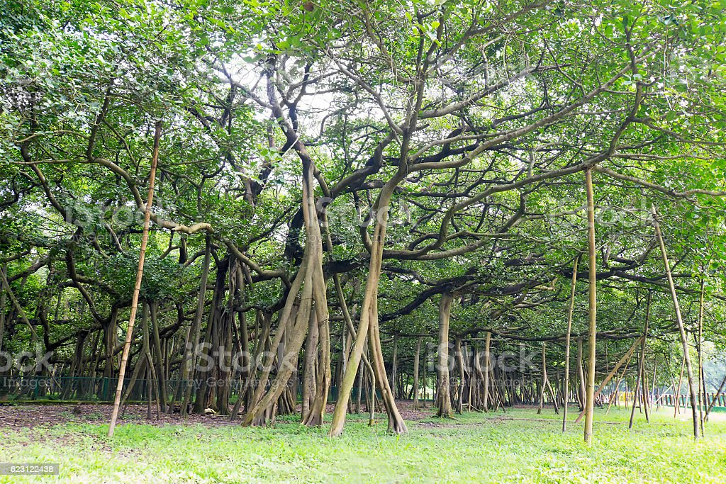 Great banyan tree, Howrah, West Bengal, India stock photo