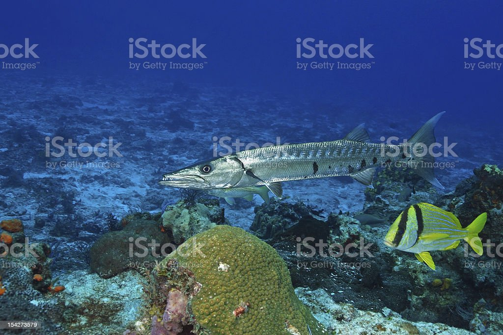 Great Barracuda and Porkfish in the Gulf of Mexico stock photo