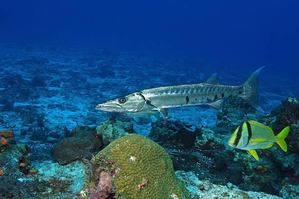 Barracuda Gigante e Salema no Golfo do México - foto de acervo