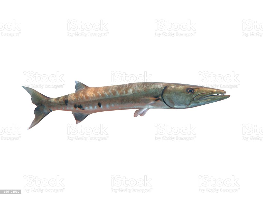 Great Barracuda fish in ocean Bali stock photo