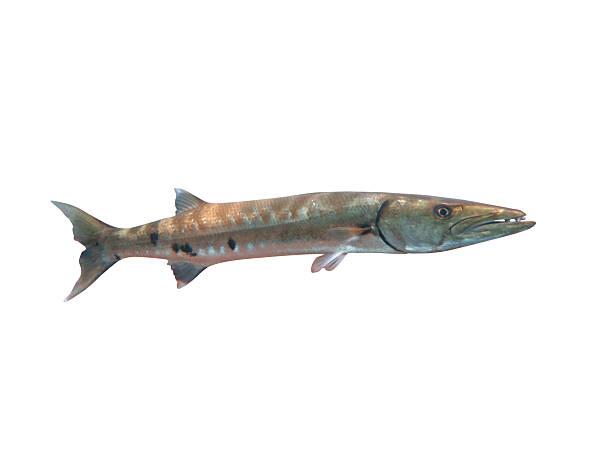 Barracuda Gigante peixes no mar em Bali - foto de acervo
