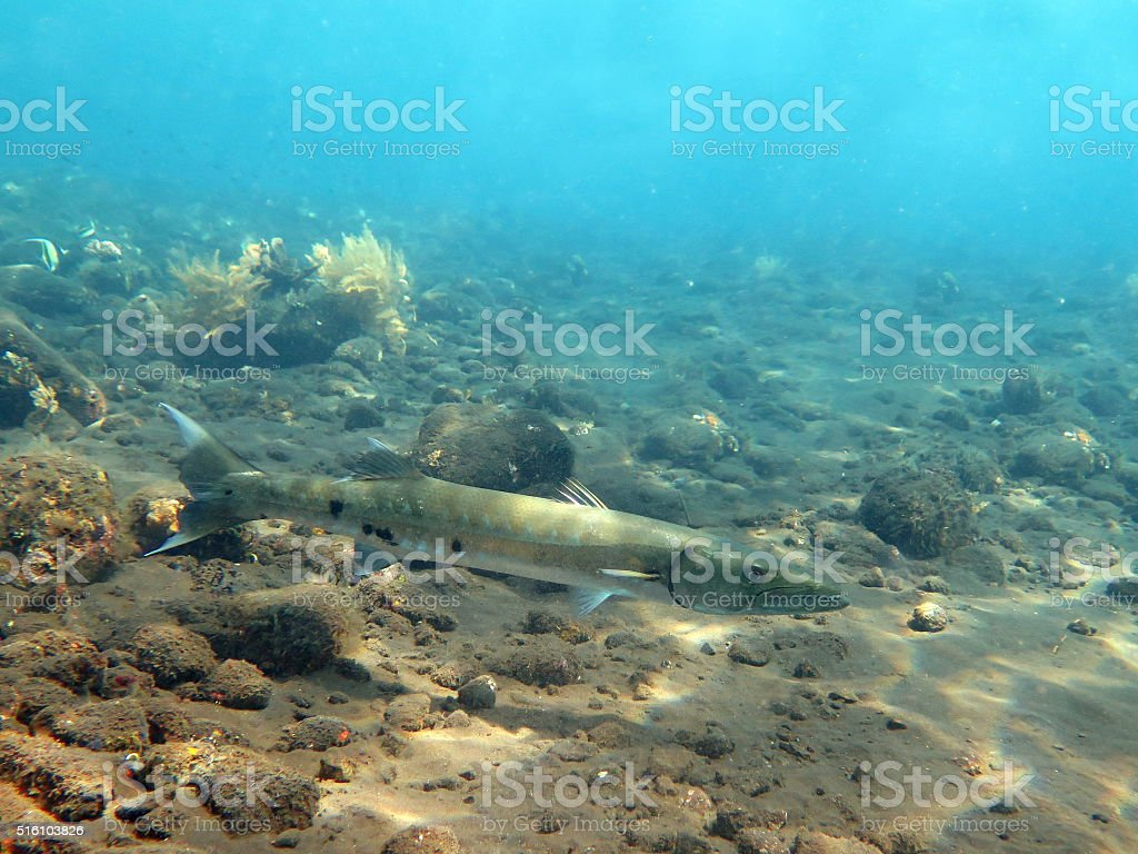 Great Barracuda fish in ocean Bali stock photo