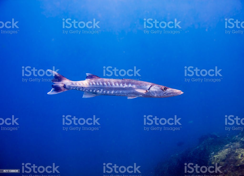 Great Barracuda (Sphyraena) Hunting Tropical Saltwater Fish Reef - foto de stock