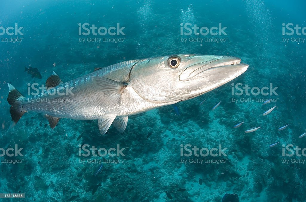 Gran barracuda - foto de stock