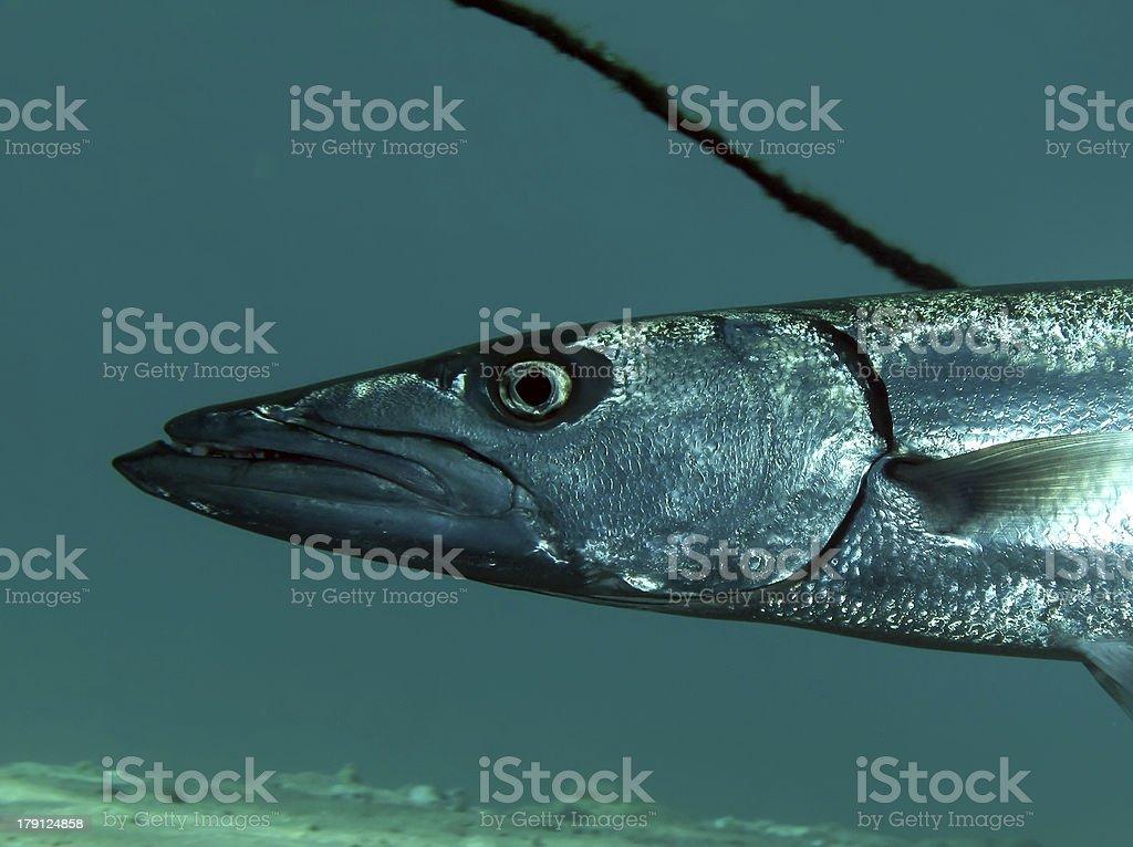 Great Barracuda royalty-free stock photo