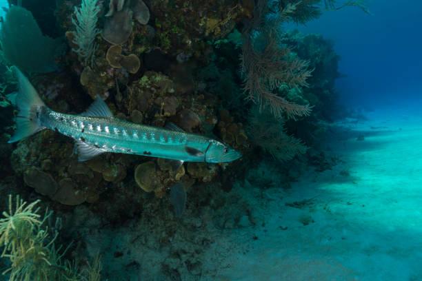 Grande barracuda (Sphyraena barracuda) - foto de acervo