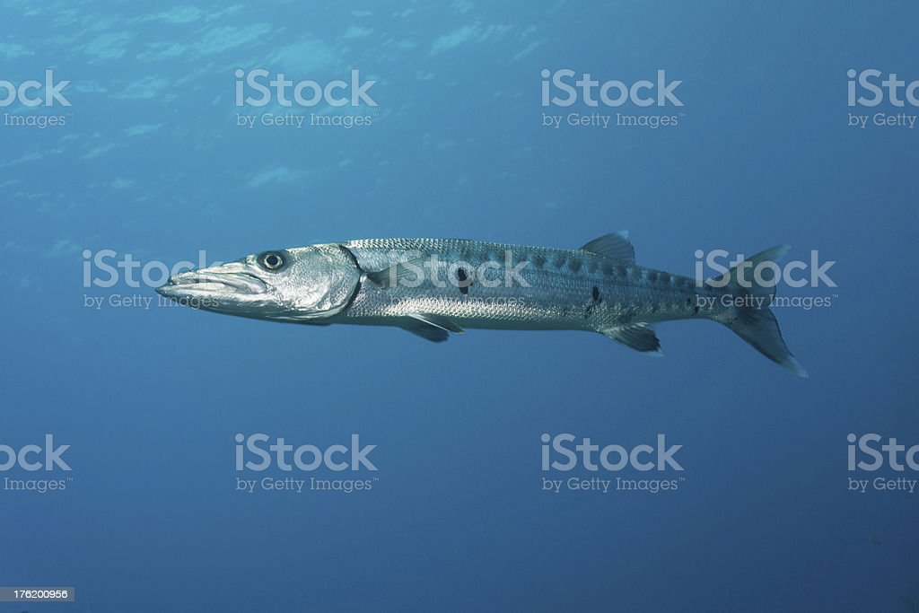 Great Barracuda Portrait stock photo