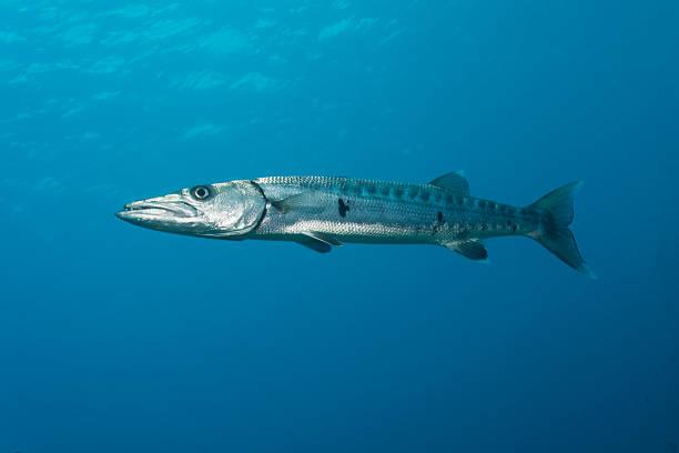 Barracuda Gigante Retrato - foto de acervo