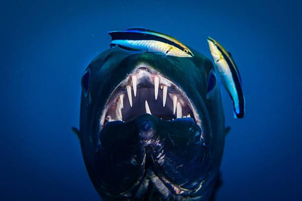 barracuda Gigante com mais limpos wrasses - foto de acervo