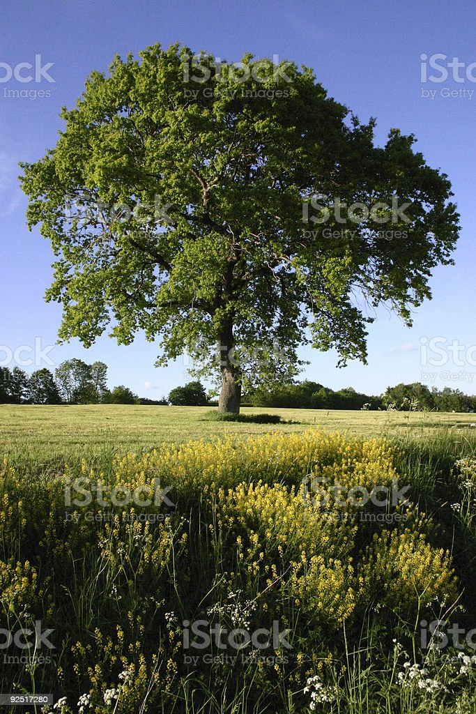 Great Beech on a meadow royalty-free stock photo