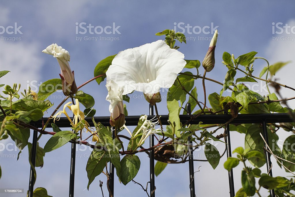 Great bindweed and honeysuckle intertwined stock photo