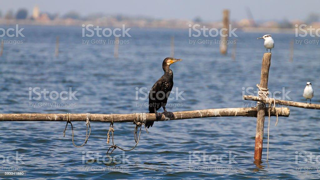 Great black cormorant stock photo