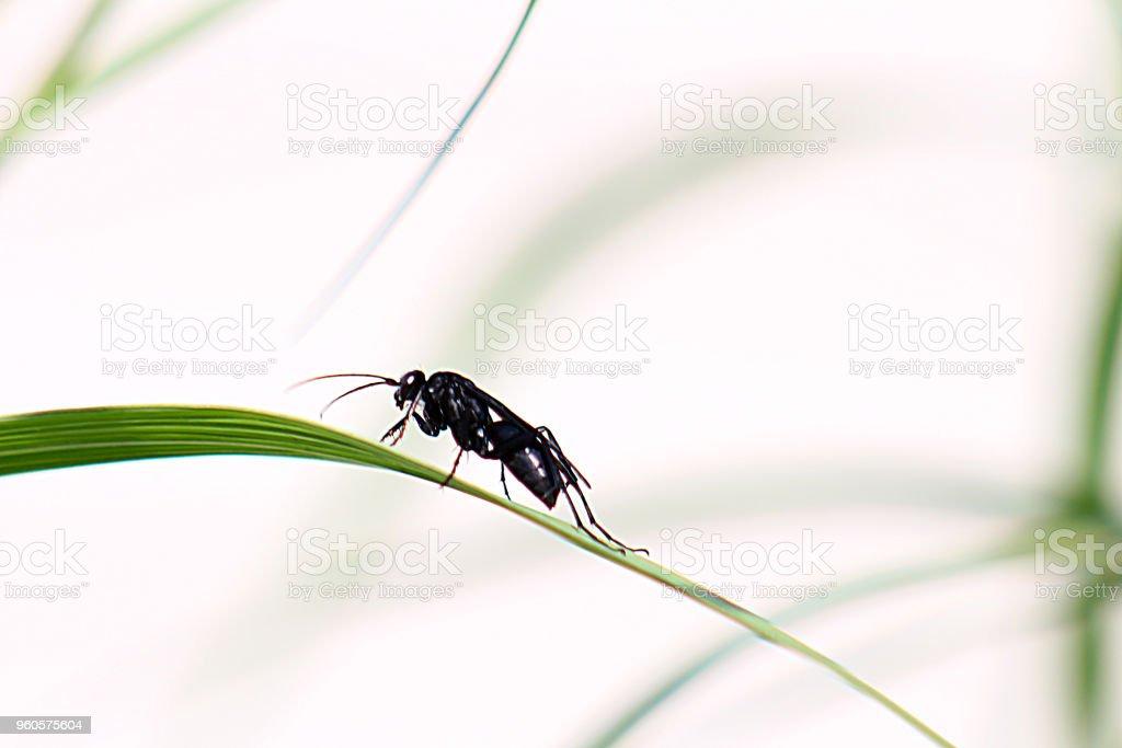 Great Black Wasp stock photo