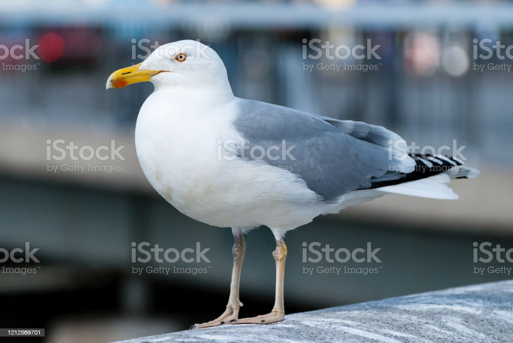 Great black-backed gull The great black-backed gull (Larus marinus), mistakenly called greater black-backed gull by some, is the largest member of the gull family. Animal Stock Photo