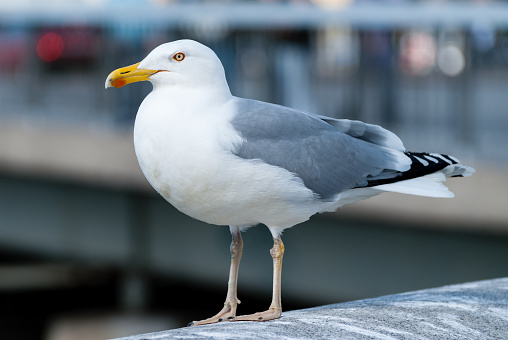 Great Blackbacked Gull Stock Photo - Download Image Now