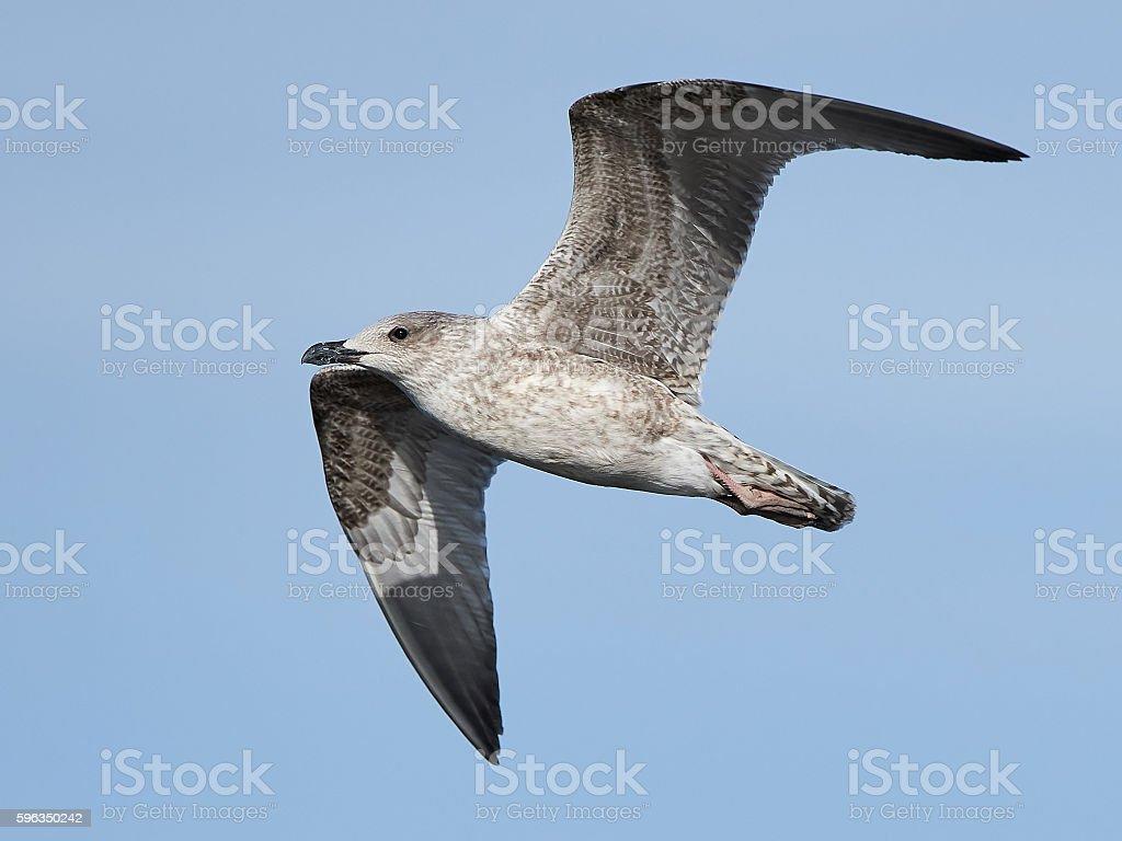 Mantelmöwe Larus marinus (Larus marinus Lizenzfreies stock-foto