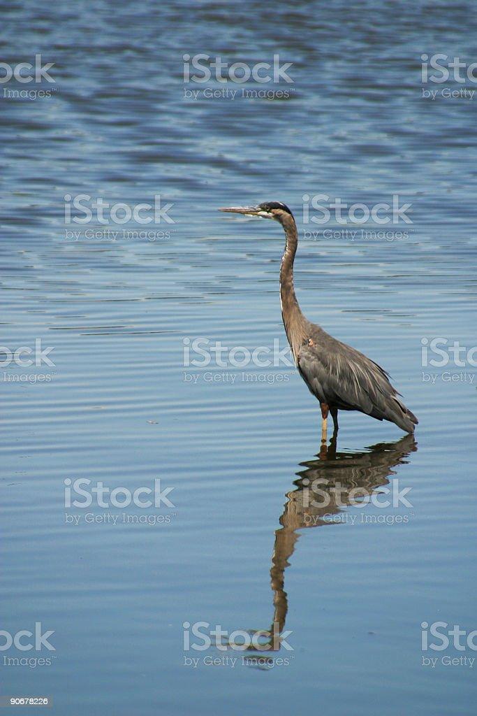 Great Blue Heron 2 royalty-free stock photo