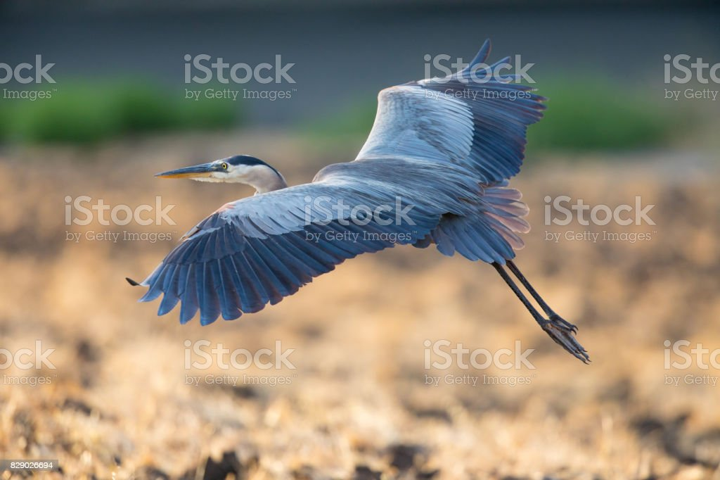 Great blue heron about to land, seen in the wild in North California stock photo