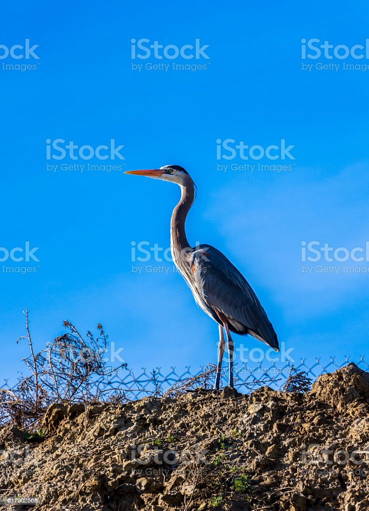 Great blue heron against a blue sky stock photo