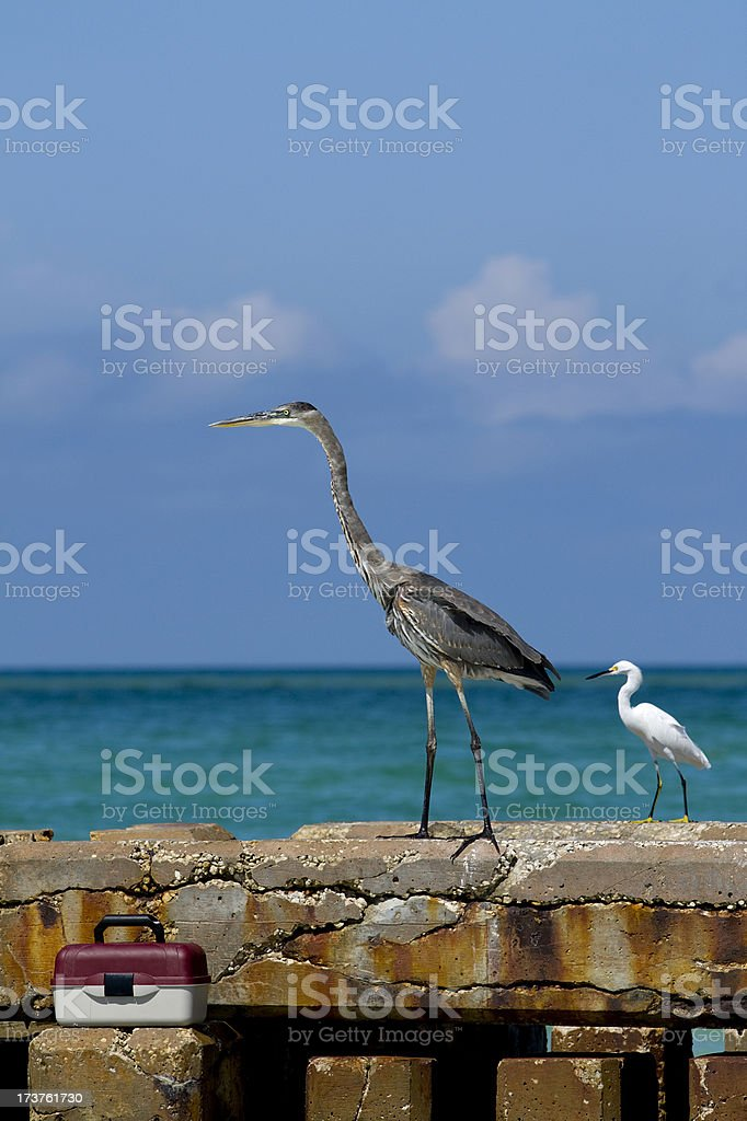 Great Blue Heron and egret next to lunch box. stock photo