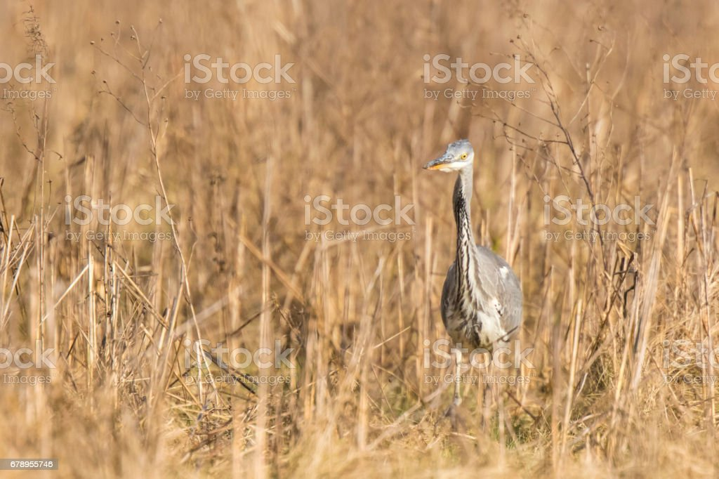 Great blue heron Ardea herodias hunting in a meadow stock photo