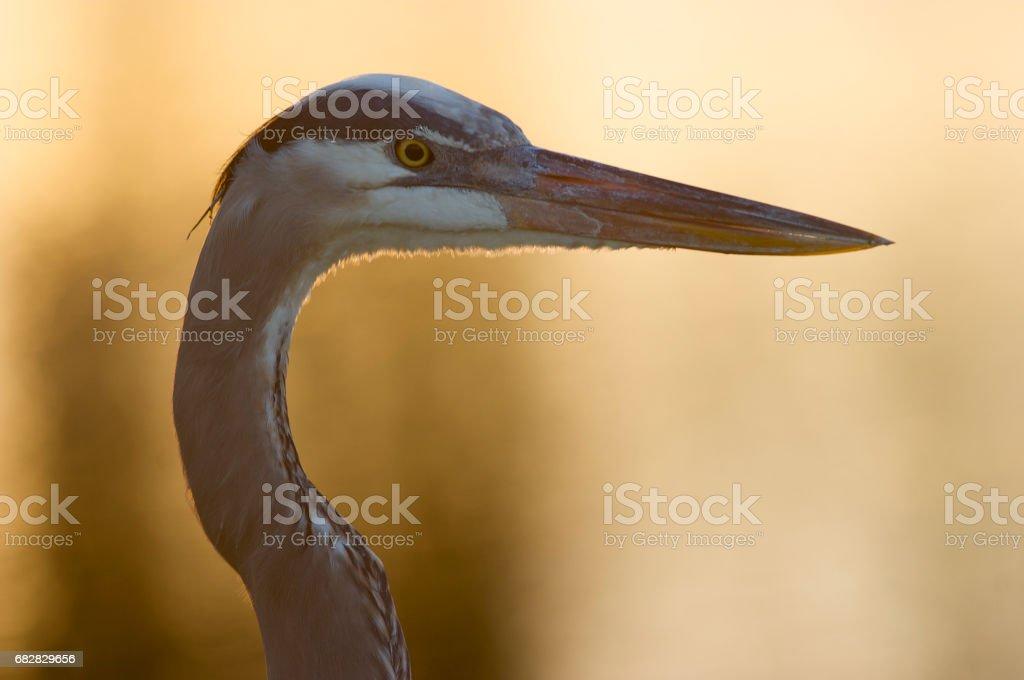 Great Blue Heron, Ardea herodias Lizenzfreies stock-foto
