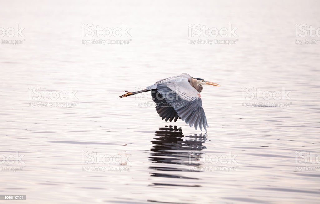 Great blue heron Ardea herodias stock photo