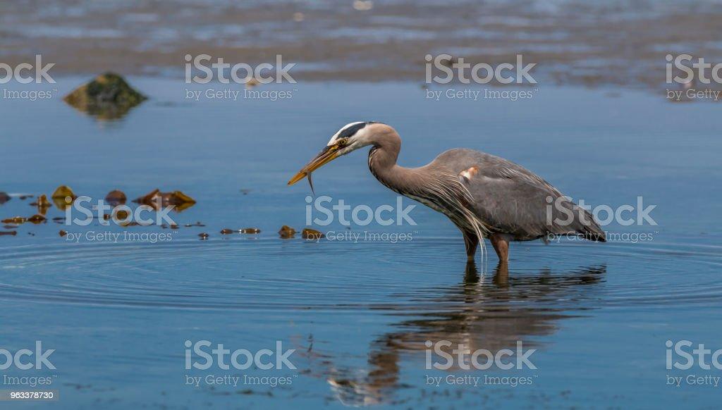 """Great blue heron """" ardea herodias """" - Zbiór zdjęć royalty-free (Bez ludzi)"""