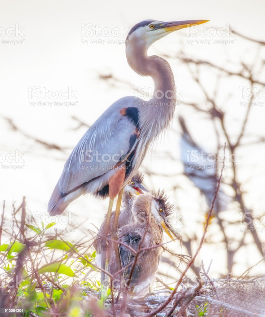 Great Blue Heron Babies stock photo