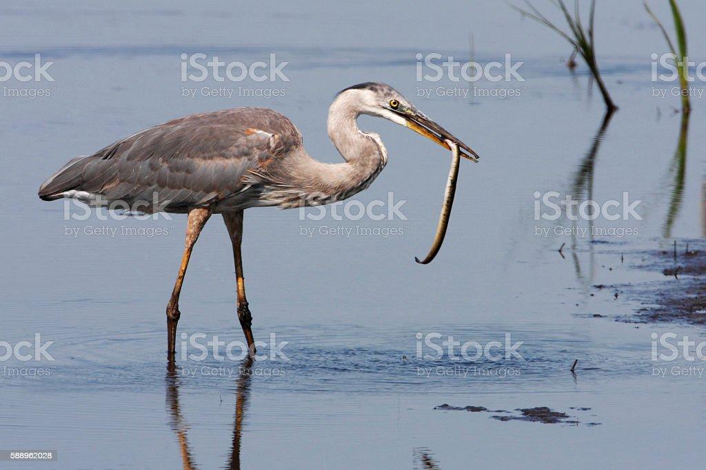 Great blue heron (Ardea herodias), Bombay Hook NWR, Delaware, USA stock photo