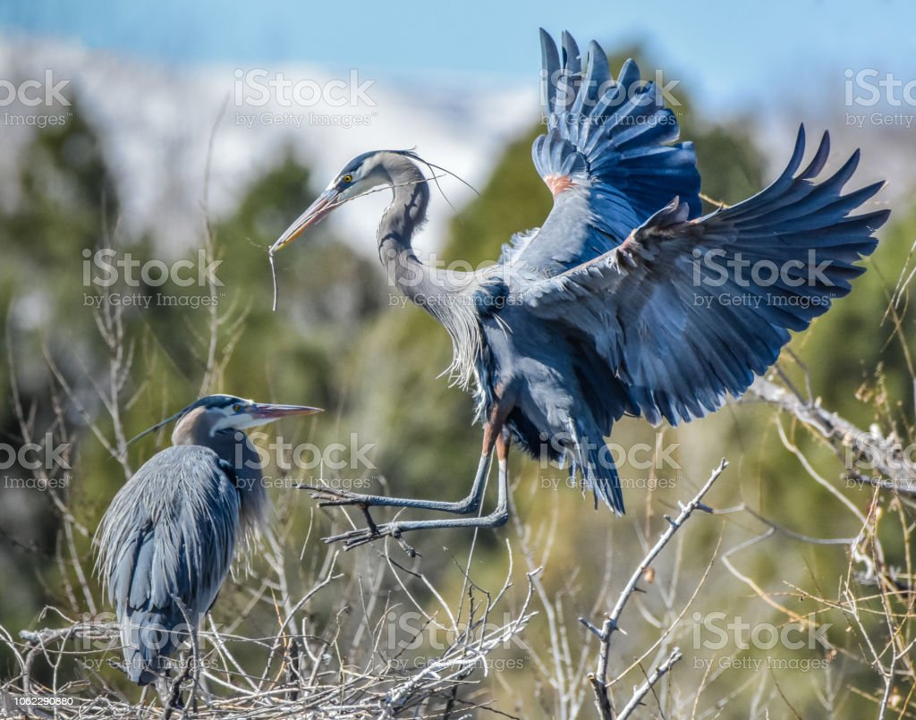 Great Blue Heron Bring a Stick to His Nesting Mate stock photo