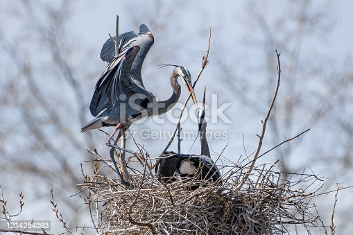 Nest building and mating activities during western USA springtime for Great Blue Herons