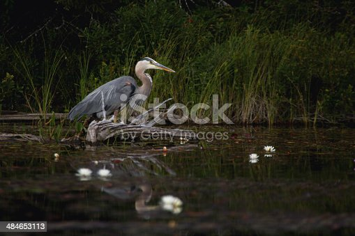 A majestic great blue heron surrounded by dark forest waits patiently in the still, shallow water along reedy shore of a lake.