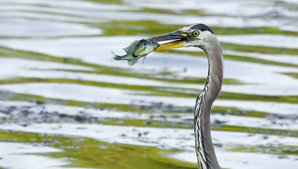 Great Blue Heron catches a Bluegill in soft focus stock photo