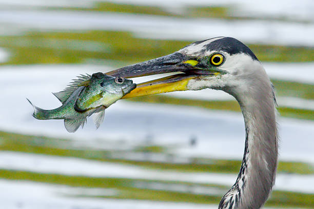Great Blue Heron catches a Bluegill. stock photo