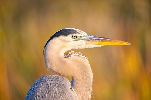 Great Blue Heron , Ardea herodias , Head Shot, Everglades National Park, Florida