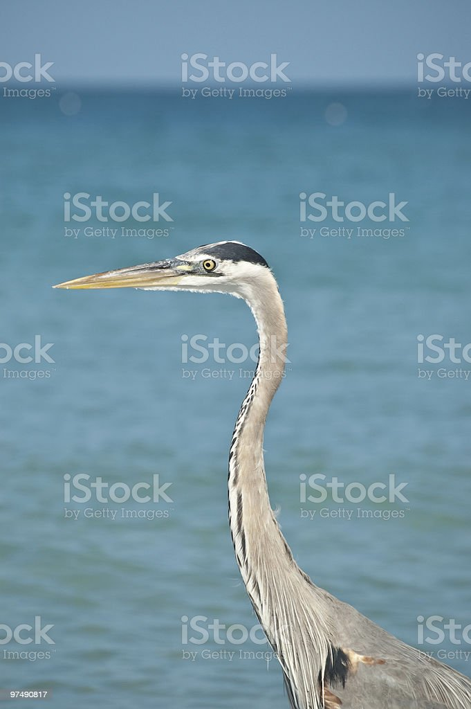 Great Blue Heron Close-up in Profile royalty-free stock photo