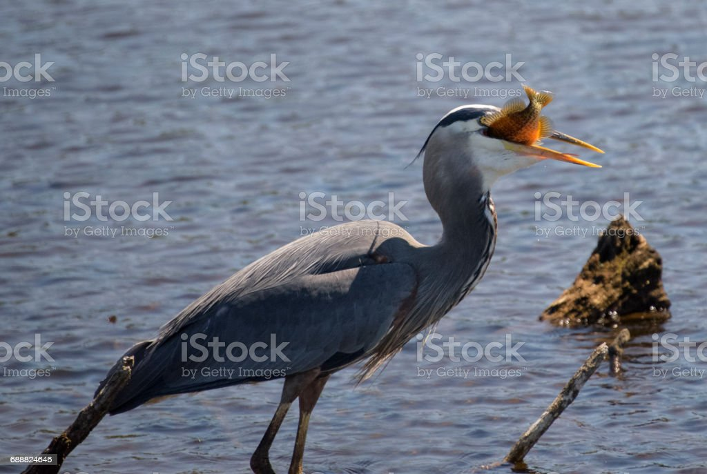 great blue heron eating a sunfish stock photo